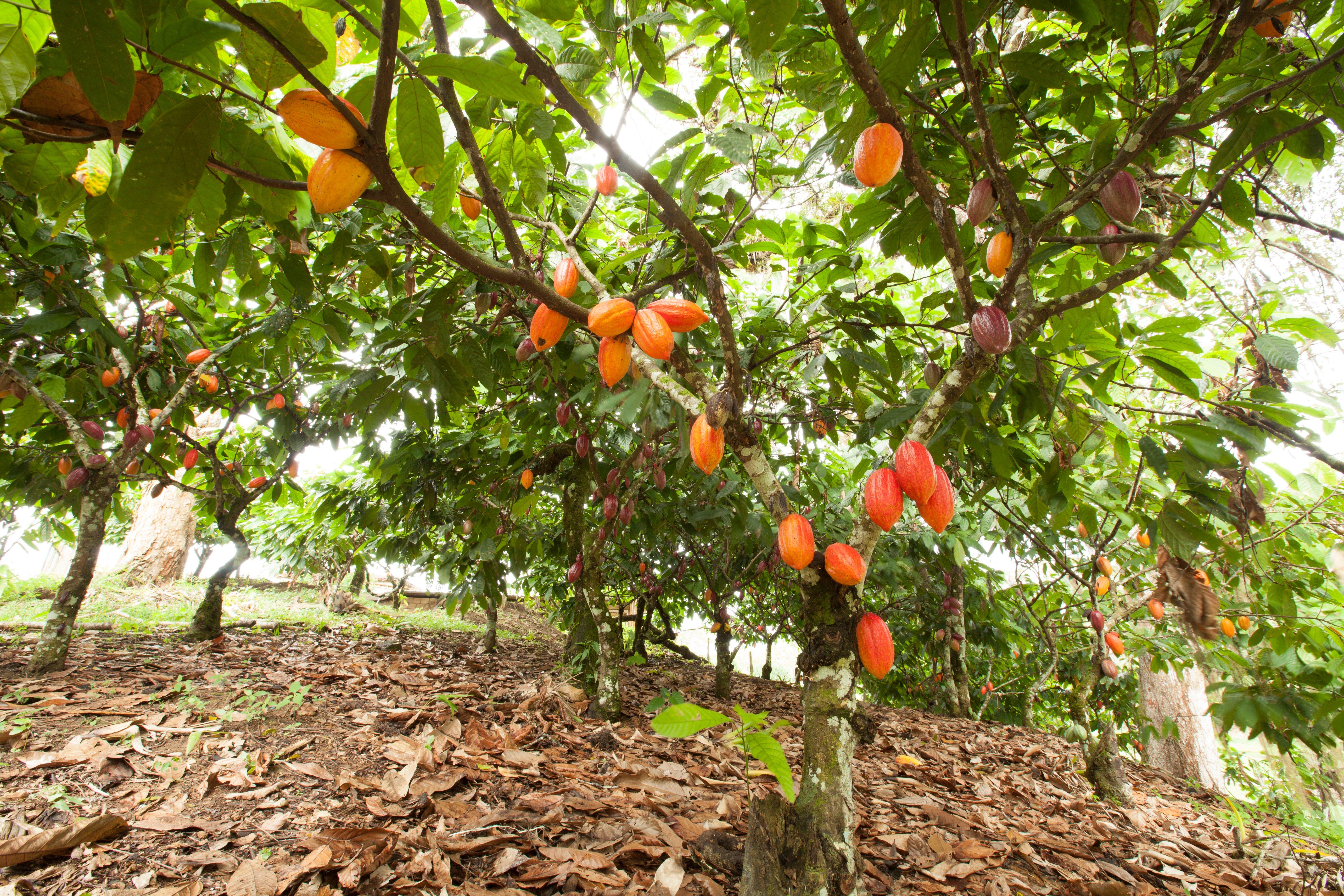 Cocoa farm: Bean have not fallen yet !