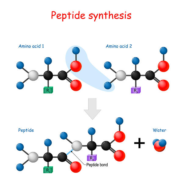 The bounding of 2 amino acids creates a peptide, which also releases a water molecule