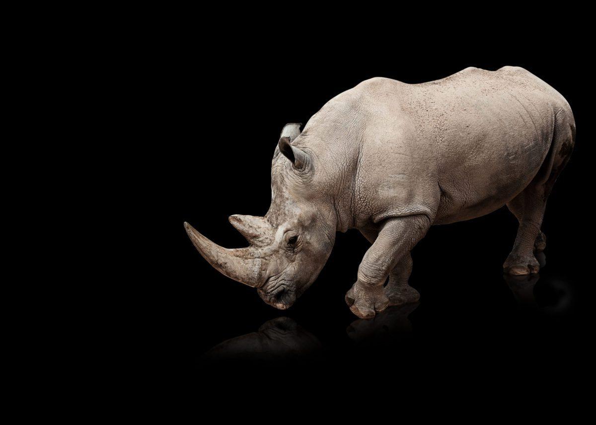 Grey rhinos